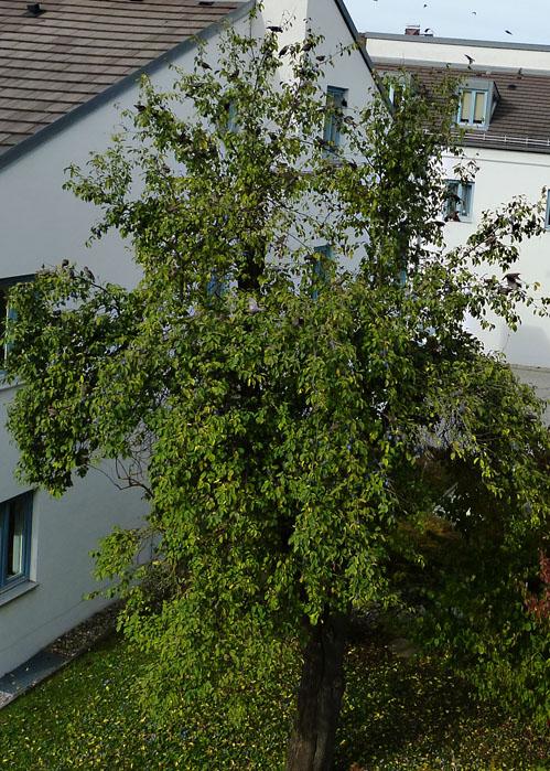 naturwissenschaftlicher verein f r schwaben e v pflaume zwetschge prunus domestica ssp. Black Bedroom Furniture Sets. Home Design Ideas