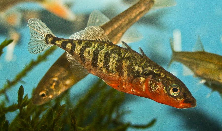 Einheimische fische hobby gartenteich for Elritzen im gartenteich