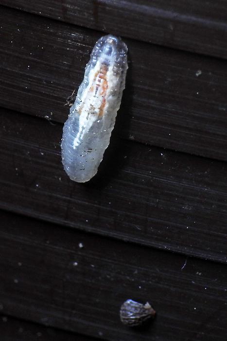 Naturwissenschaftlicher verein f r schwaben e v 184 for Fliegen larve