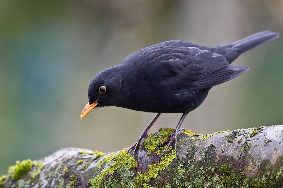 Amsel Zugvogel